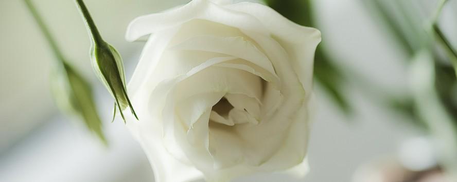 rose-456561_1280